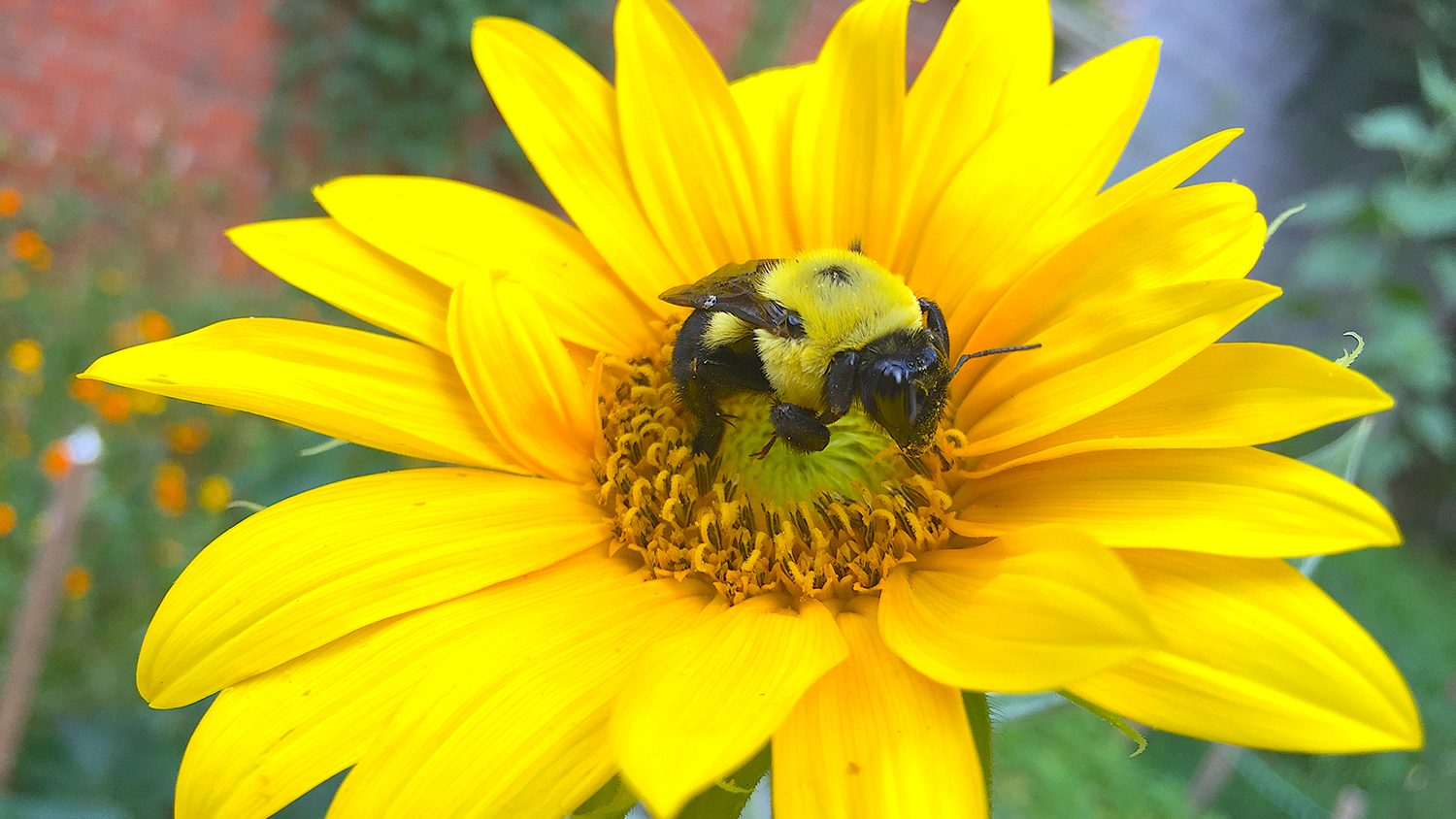 Sunflower research shows aid to bees