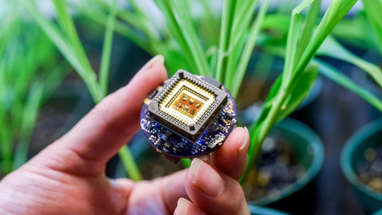 Hand holding quarter-sized sensor near corn plants