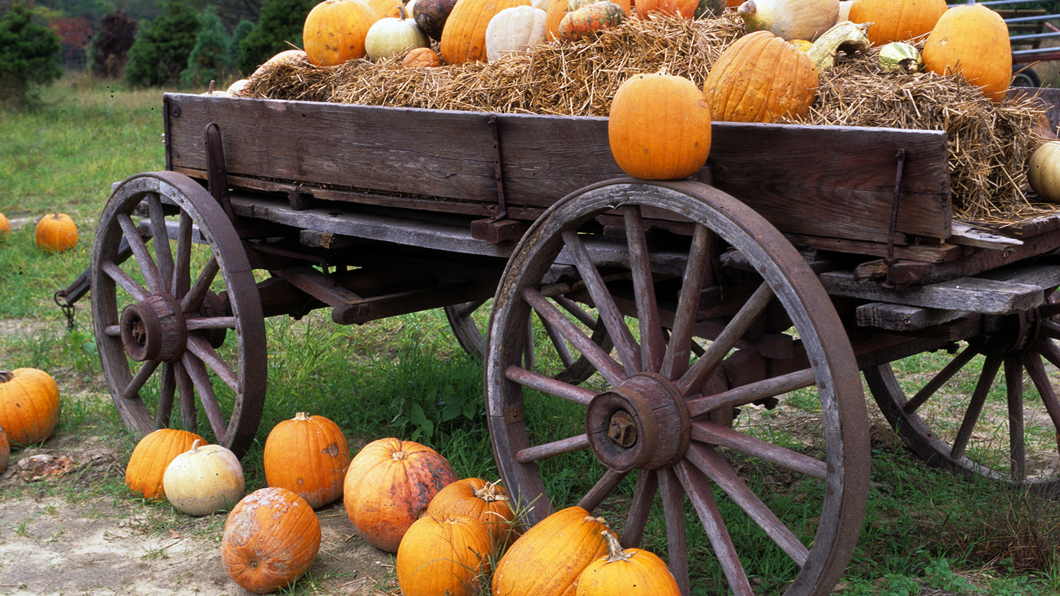 CALS Homegrown Wagon Full Of Pumpkins Pick The Best