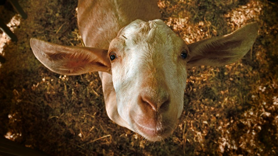 Curious show goat at the State Fair.
