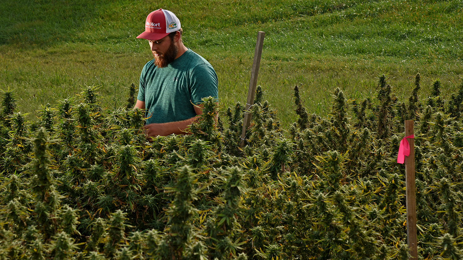 Man in a ball cap looks over a field of hemp