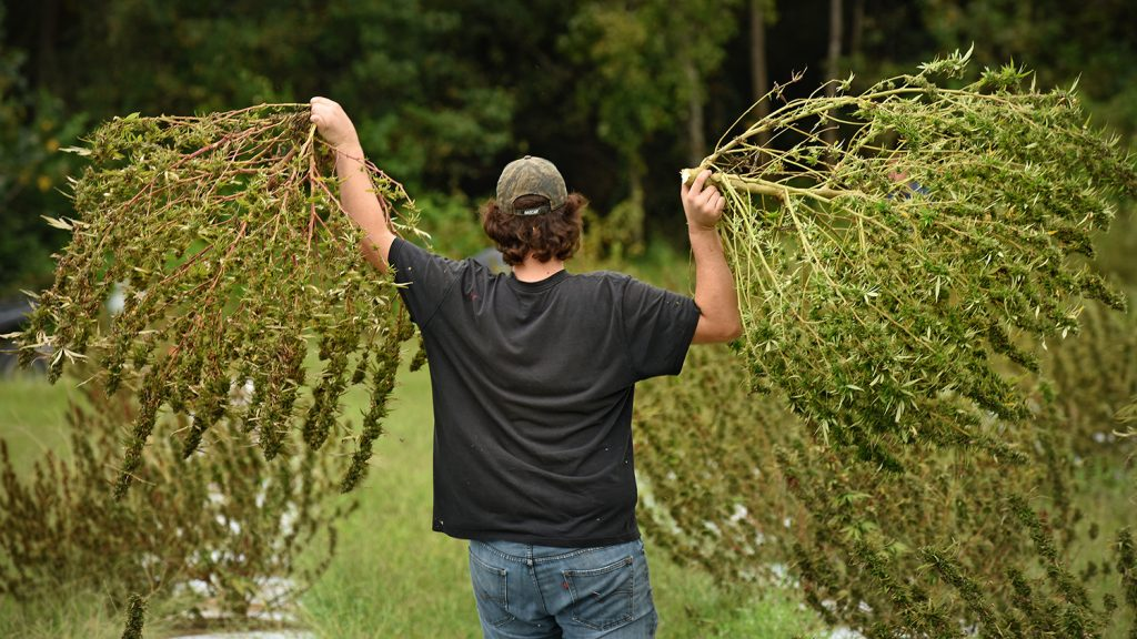 The back of a man holding two hemp plants.