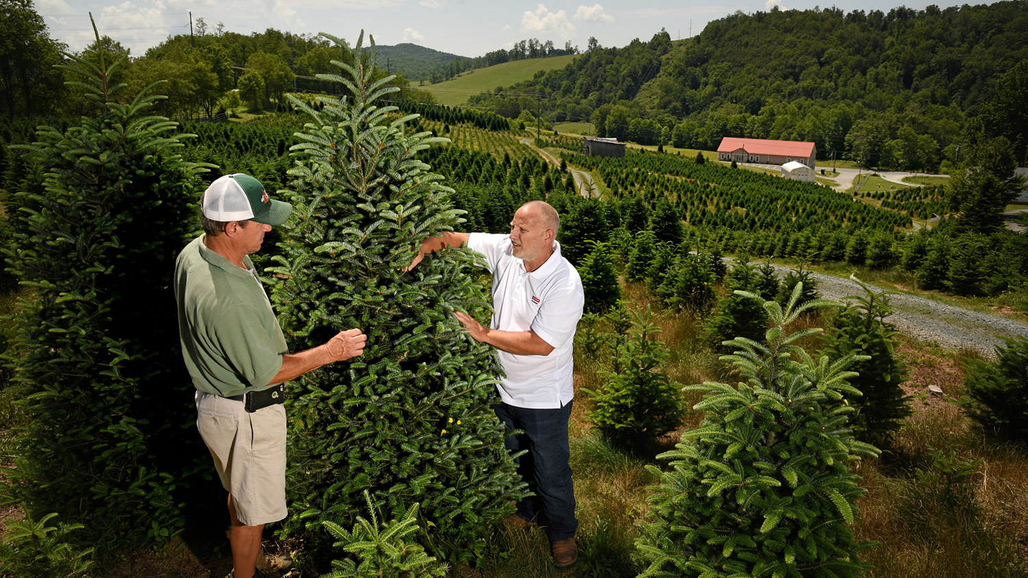 NC State Extension helps on a Christmas tree farm in western NC