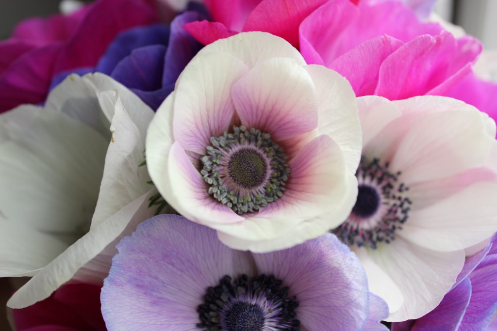 Close-up photo of pink, purple and white anemones