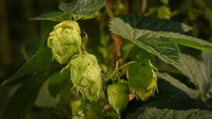 Close up image of hops flowers