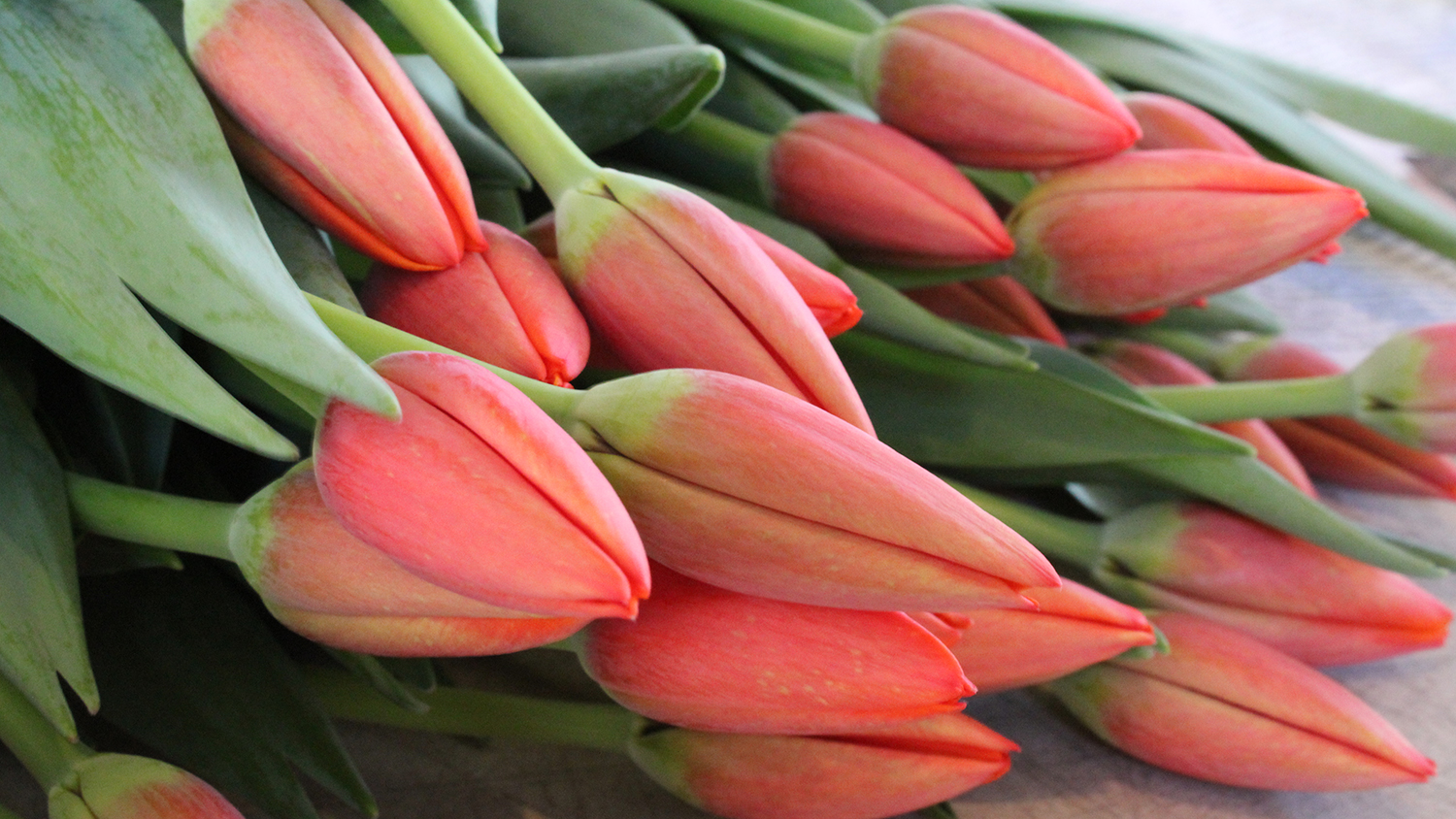 Closeup photo of a bunch of tulips about to open