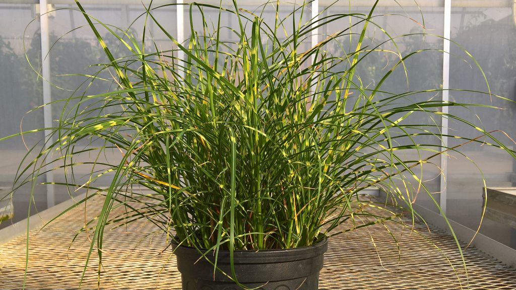 Tall green and yellow grass in a container