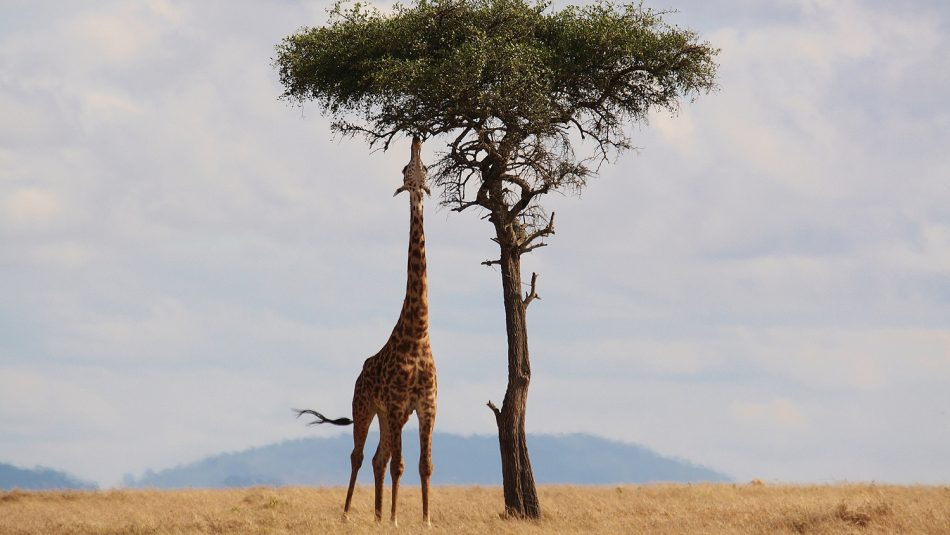 CALS researchers have found that the North African outdoors are most similar to U.S. indoors. Here, a giraffe eats a tree outdoors.