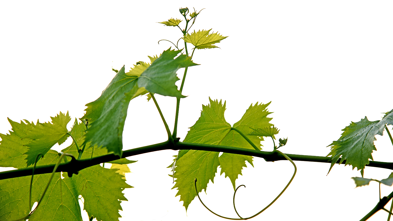 Photo of a portion of a grapevine