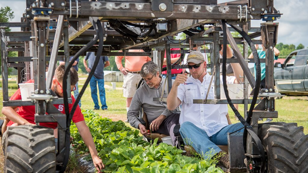 Men on a motorized harvest aid in a strawberry field
