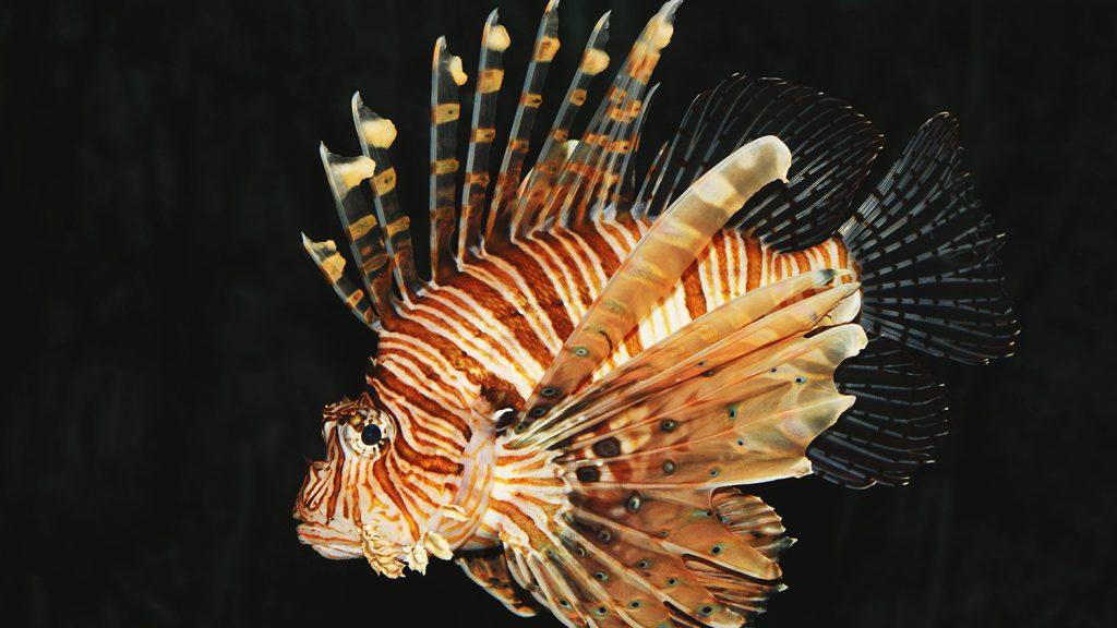 An invasive lionfish swimming in dark water