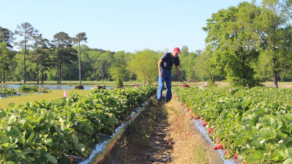 Man walking through strawberry plots.