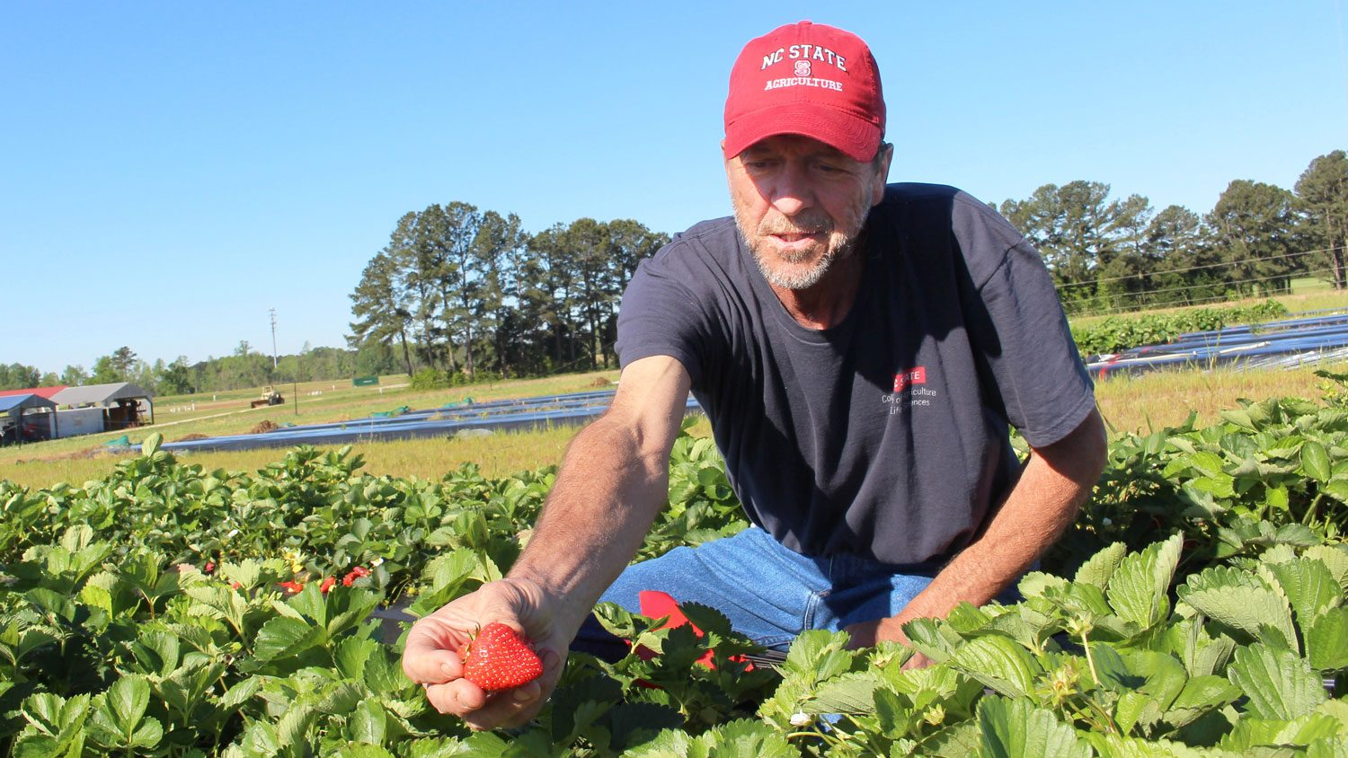 man squatting in strawberry research plot, holding a large strawberry
