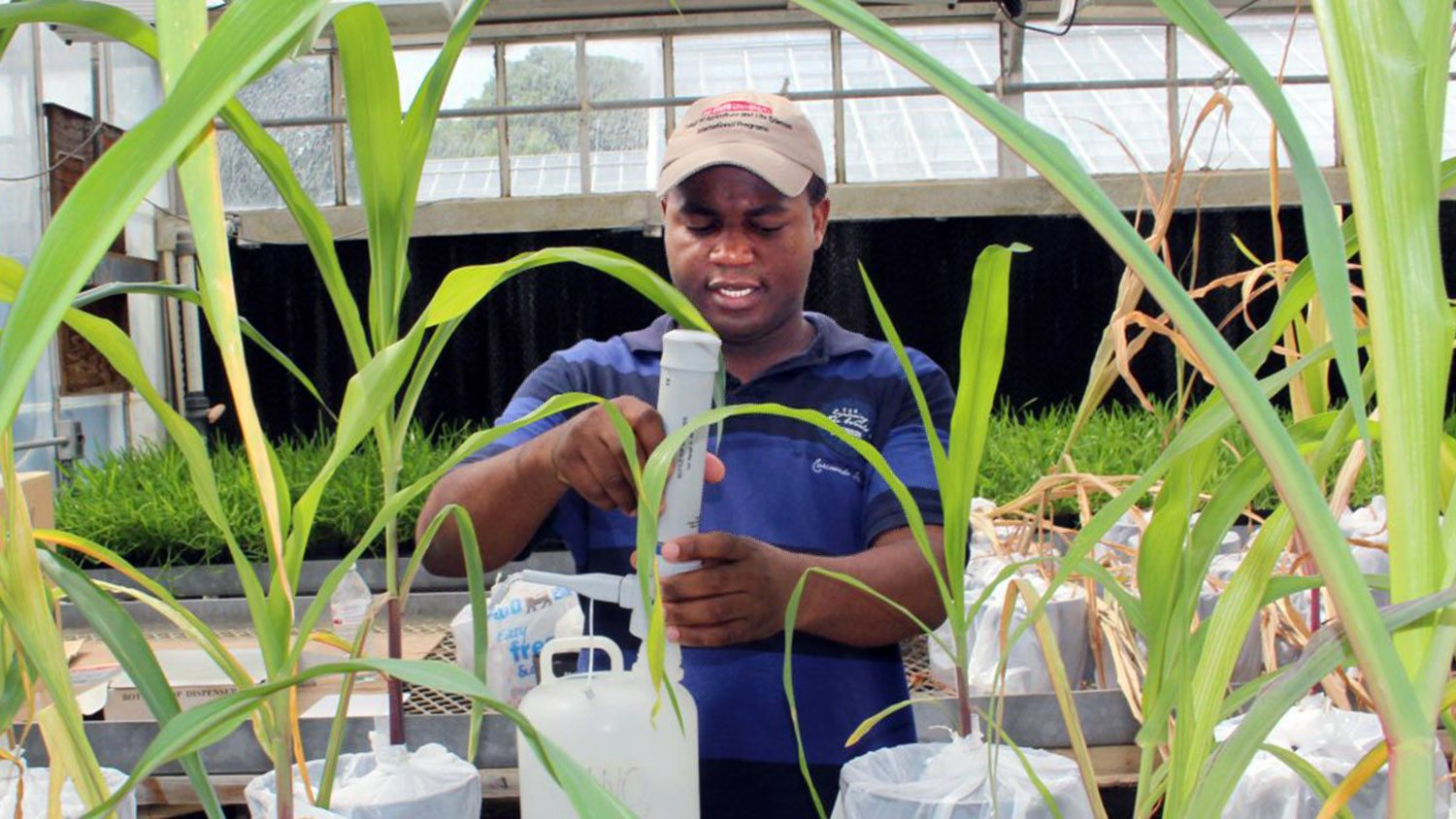 Mozambique professor studying at NC State works with plants in a greenhouse while wearing a hat.