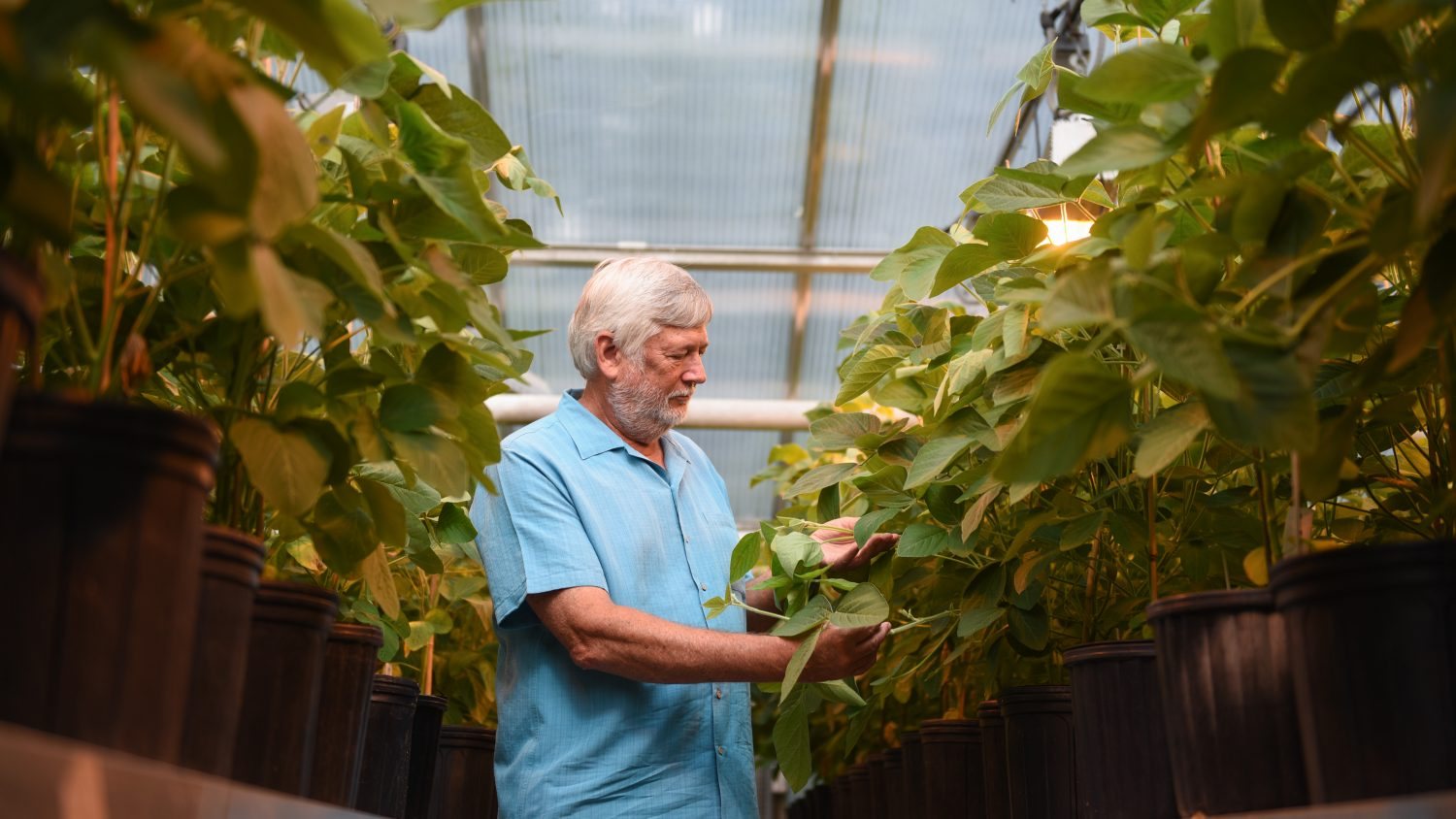 Scientist in a greenhouse with soybeans in a greenhouse