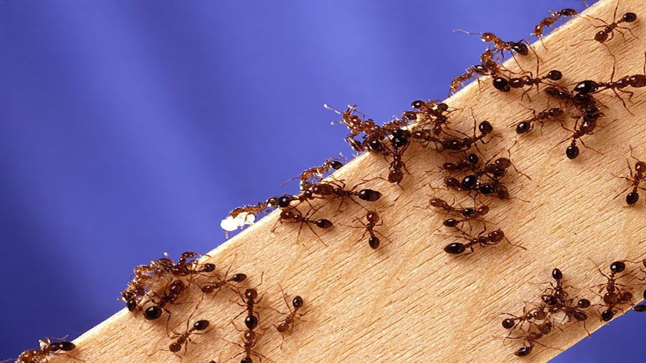 Fire ants crawling on plywood