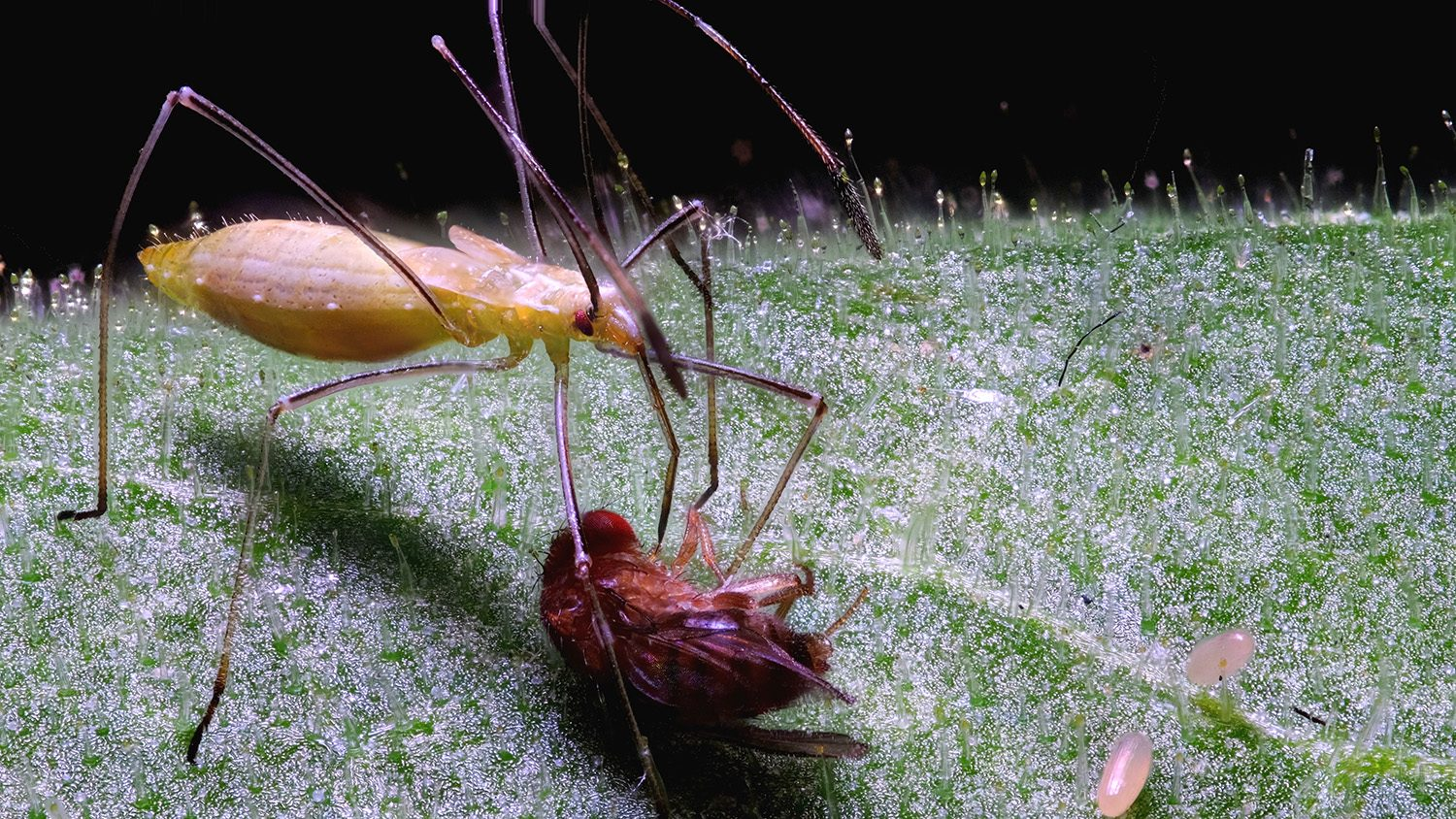 Close up of a stickybug on a leave with another insect.