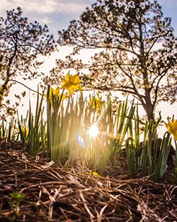 Ground level photo of buttercups with sun shining through background.
