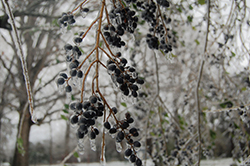 Berries hang on a limb while everything is covered in ice.
