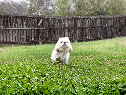 Little white dog outside in grass while it is snowing.
