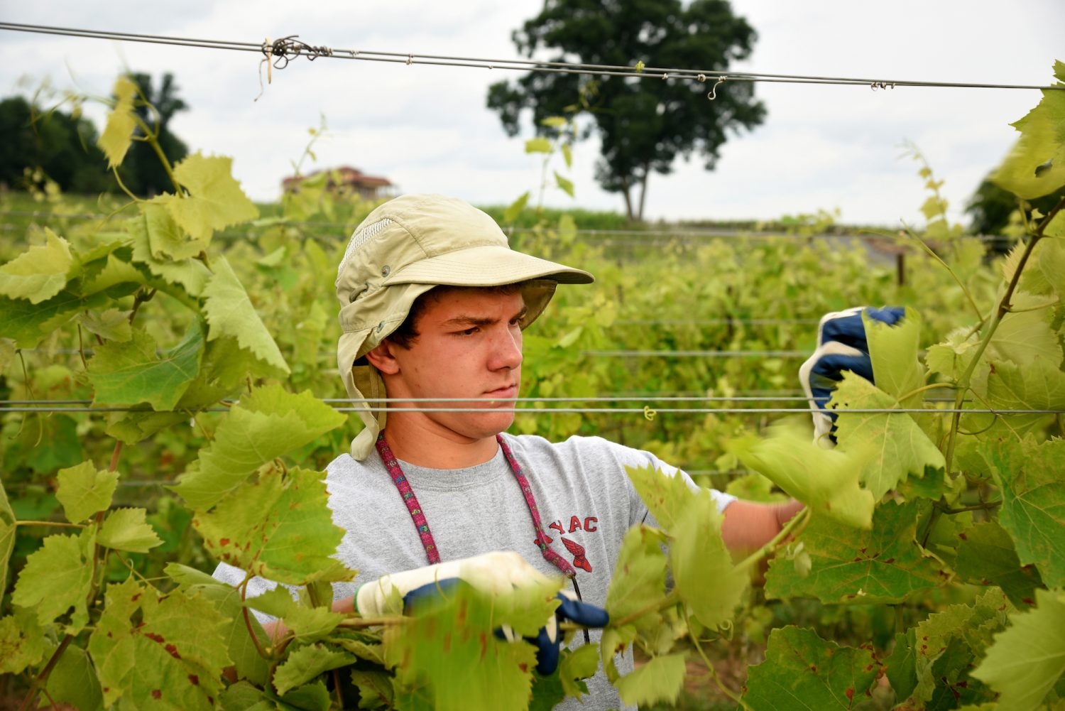 student tends to grape vines in a field