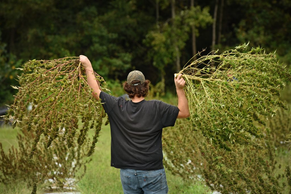 Man walking away from the camera carrying two large hemp plants