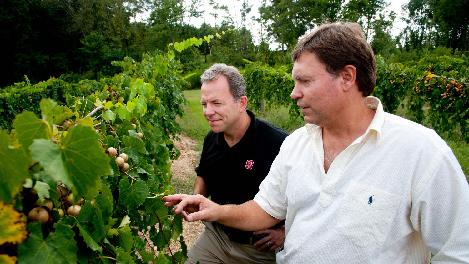 Two men check on muscadine grapes in a field.