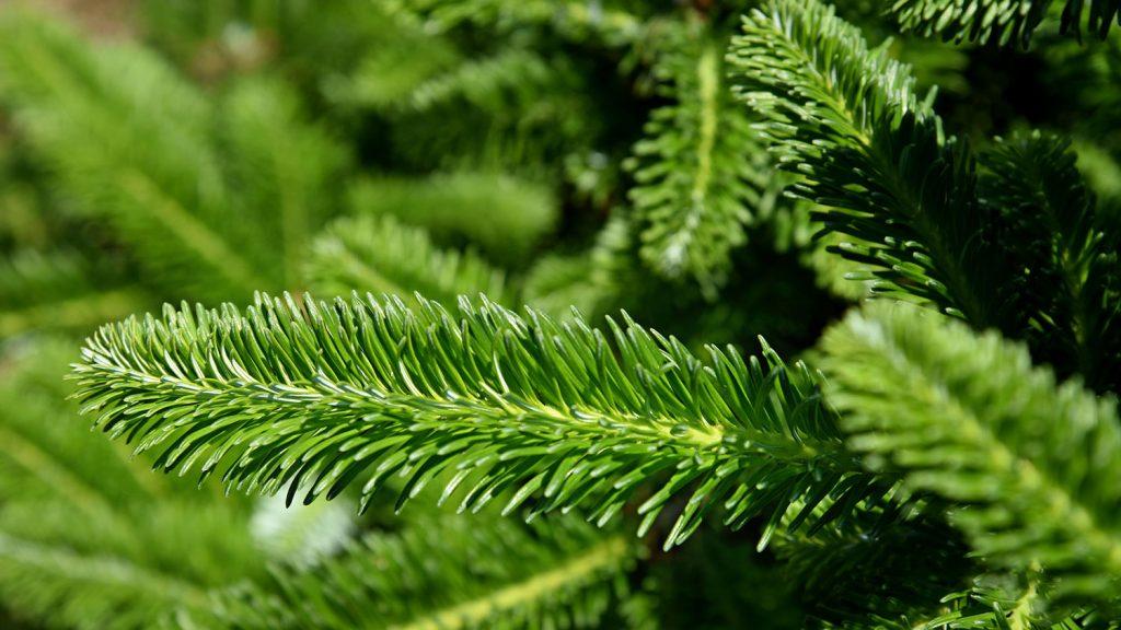 Up close view of a Fraser fir's needles