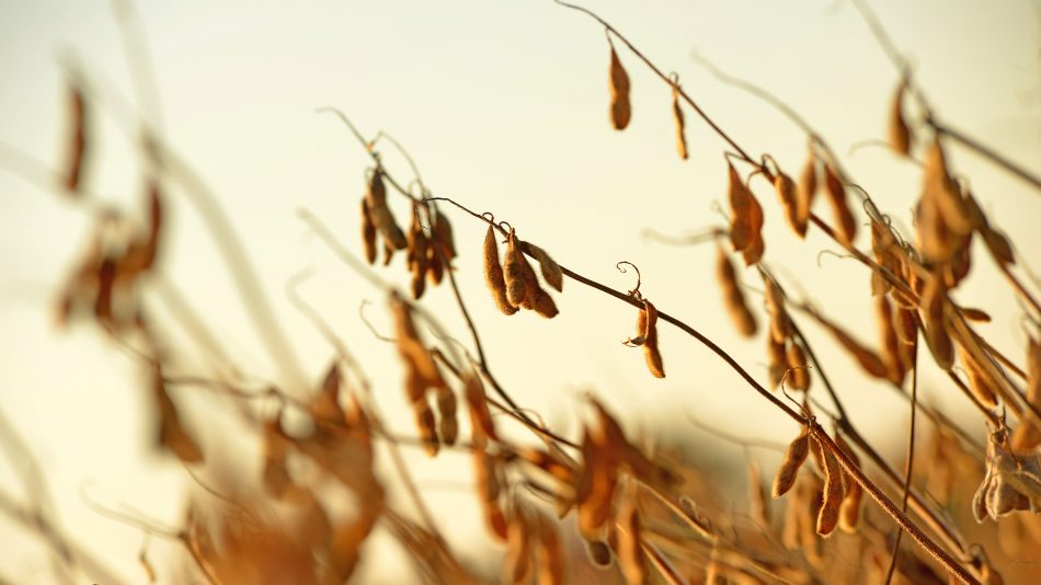 Close up of dry, golden soybeans in a field.