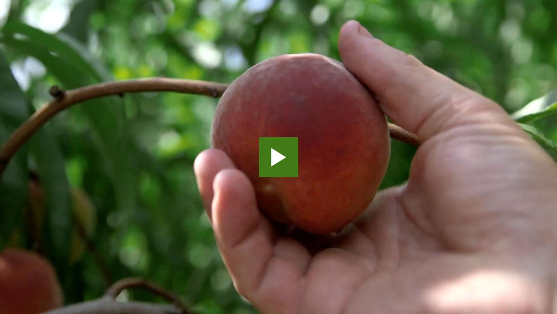 Person picking a peach