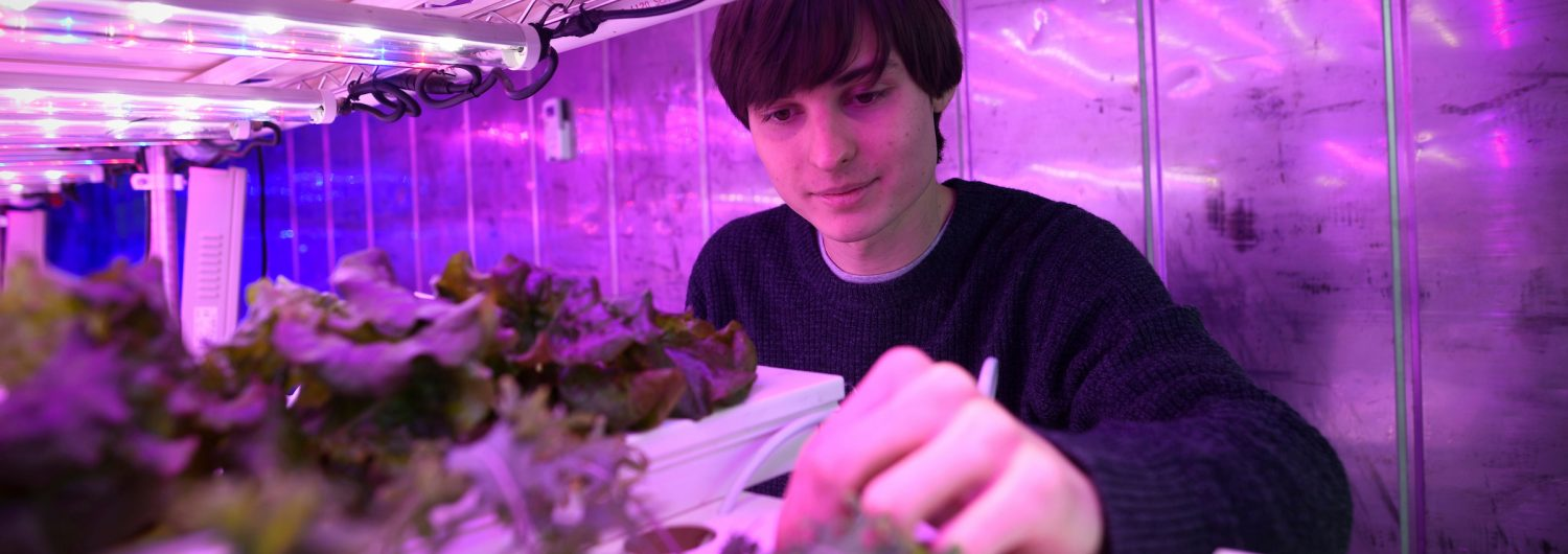CALS student works with lettuce plants at the Horticulture field lab near the Arboretum.