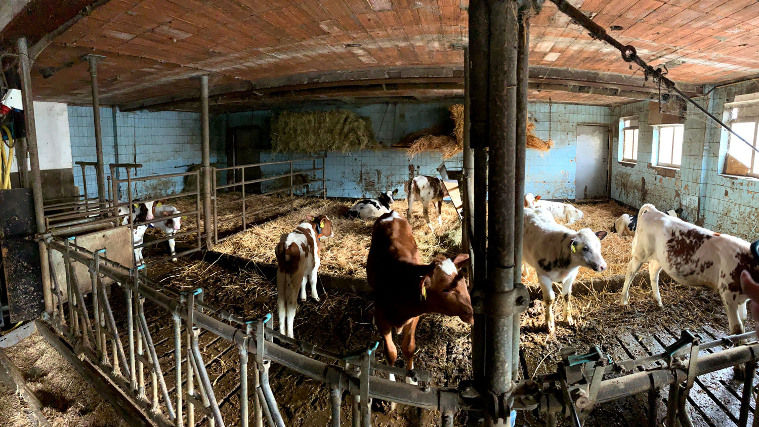 Cows in a dairy barn