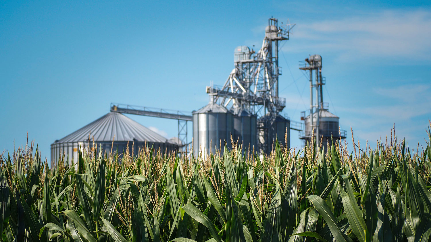 Corn field with silos in the background