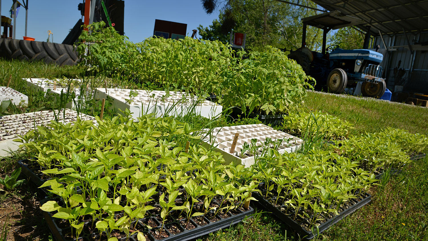 A large number of pepper and tomato gardening trays