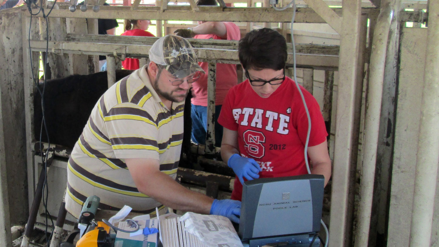 A man and woman wearing an NC State t-shirt work on cattle research.