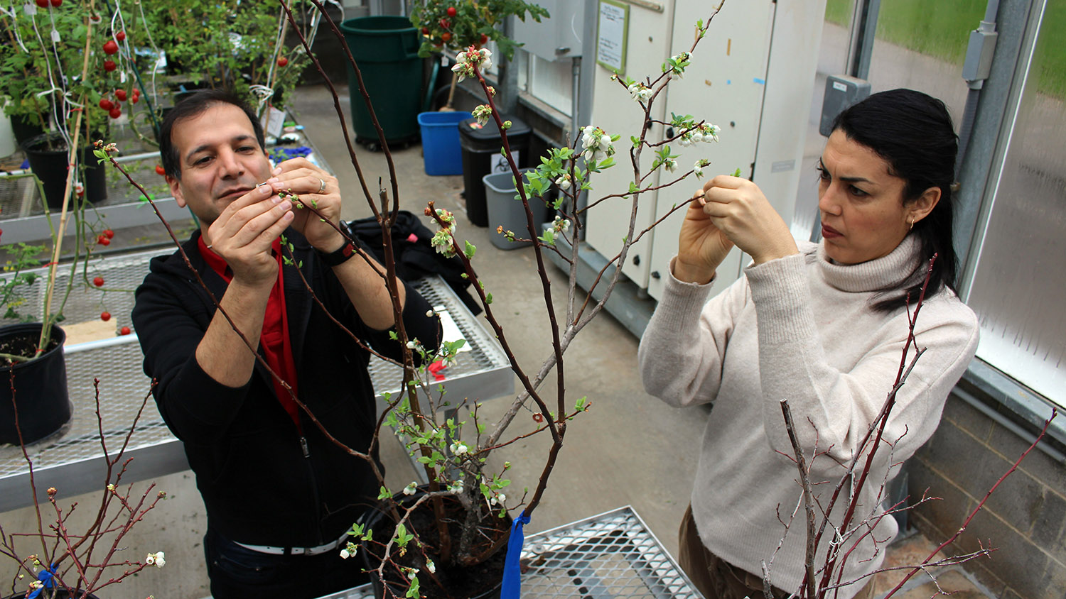 Two scientists in greenhouse pollinating blueberry plants