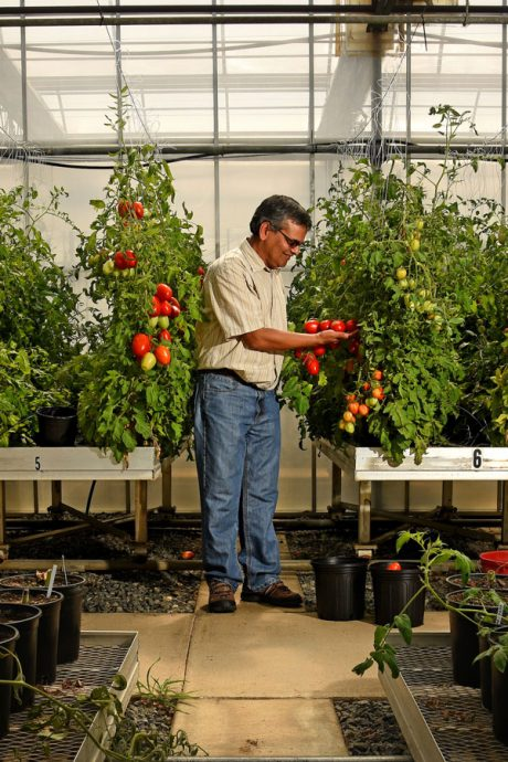 Dilip Panthee, a tomato breeding expert at Mountain Horticultural Research and Extension Center, looks over tomatoes in the station's older greenhouse.