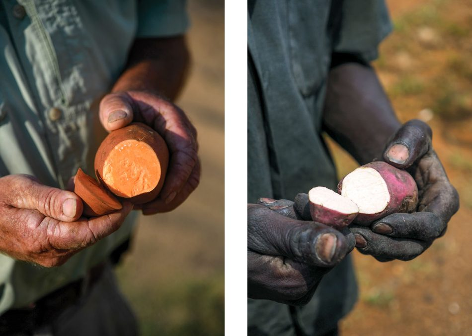 Farmers in eastern North Carolina and Uganda show off the sweetpotatoes they grow. The Noerth Carolinian holds a familiar orange-fleshed Covington sweetpotato. The Ugandan shows off a white-fleshed variety common in Africa.