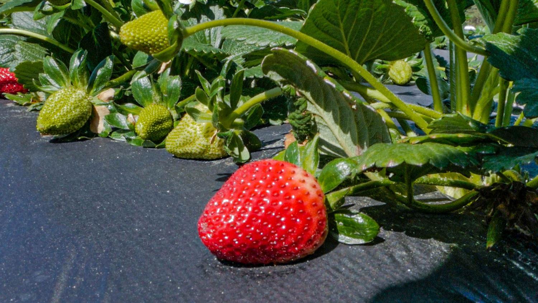 A ripe, red strawberry