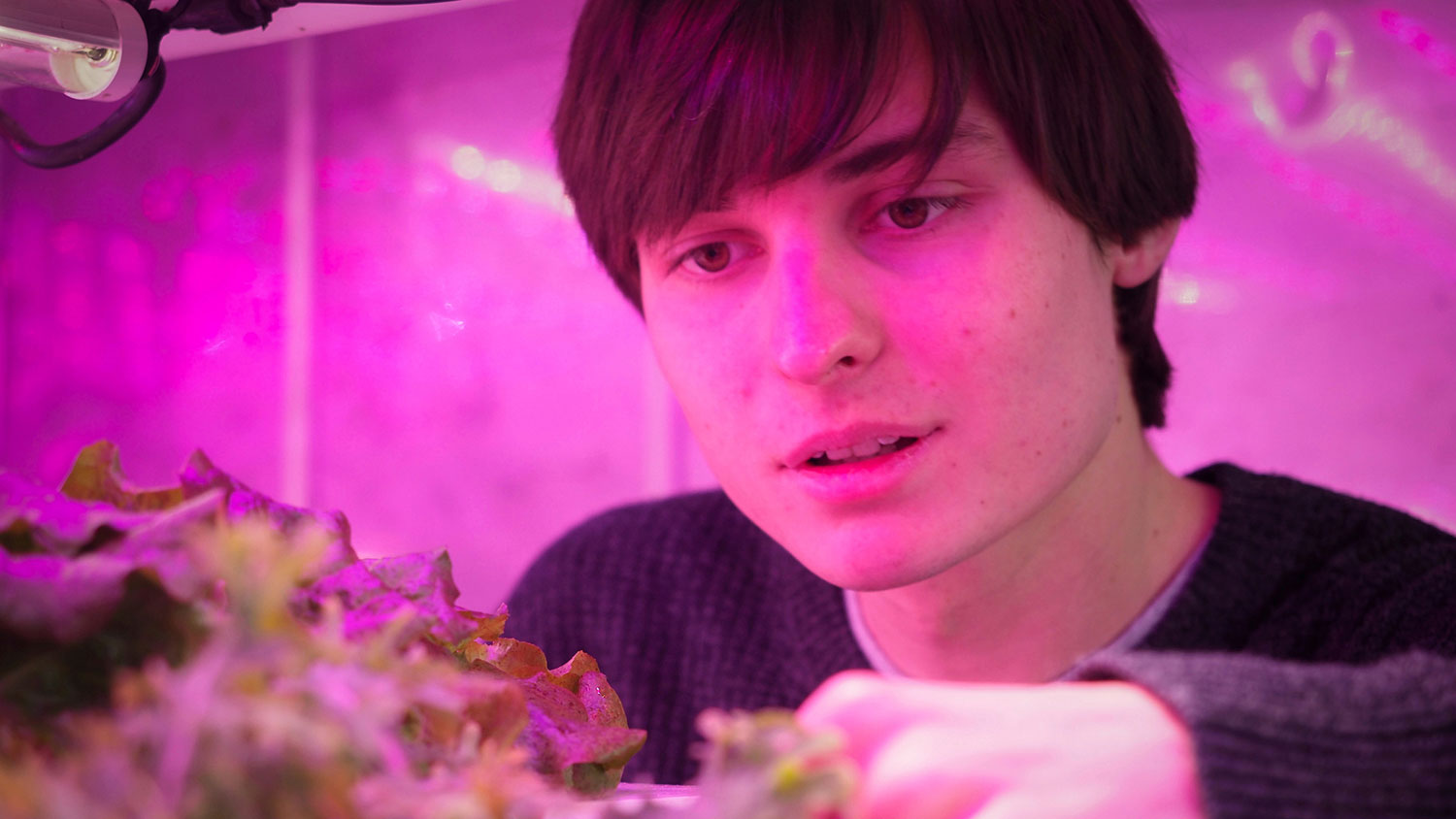 Many reaches toward plants being grown under LED lights in an indoor farm.