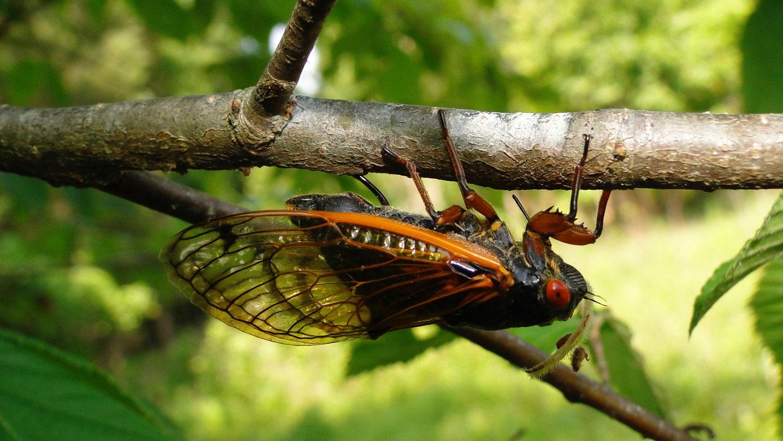 A cicada ovipositing.