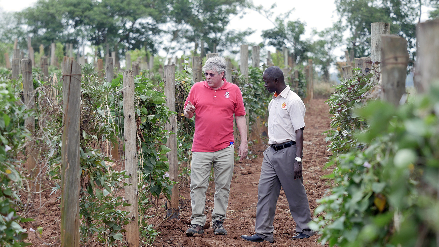 Craig Yencho and Bernard Yada '14, Ph.D., survey sweetpotato vines at a research farm outside Kampala, Uganda.