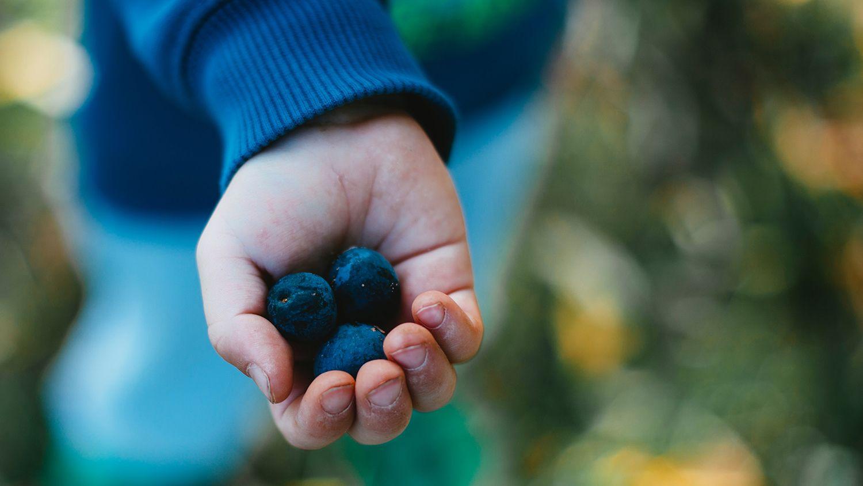 Child's hand holding three plump blueberries