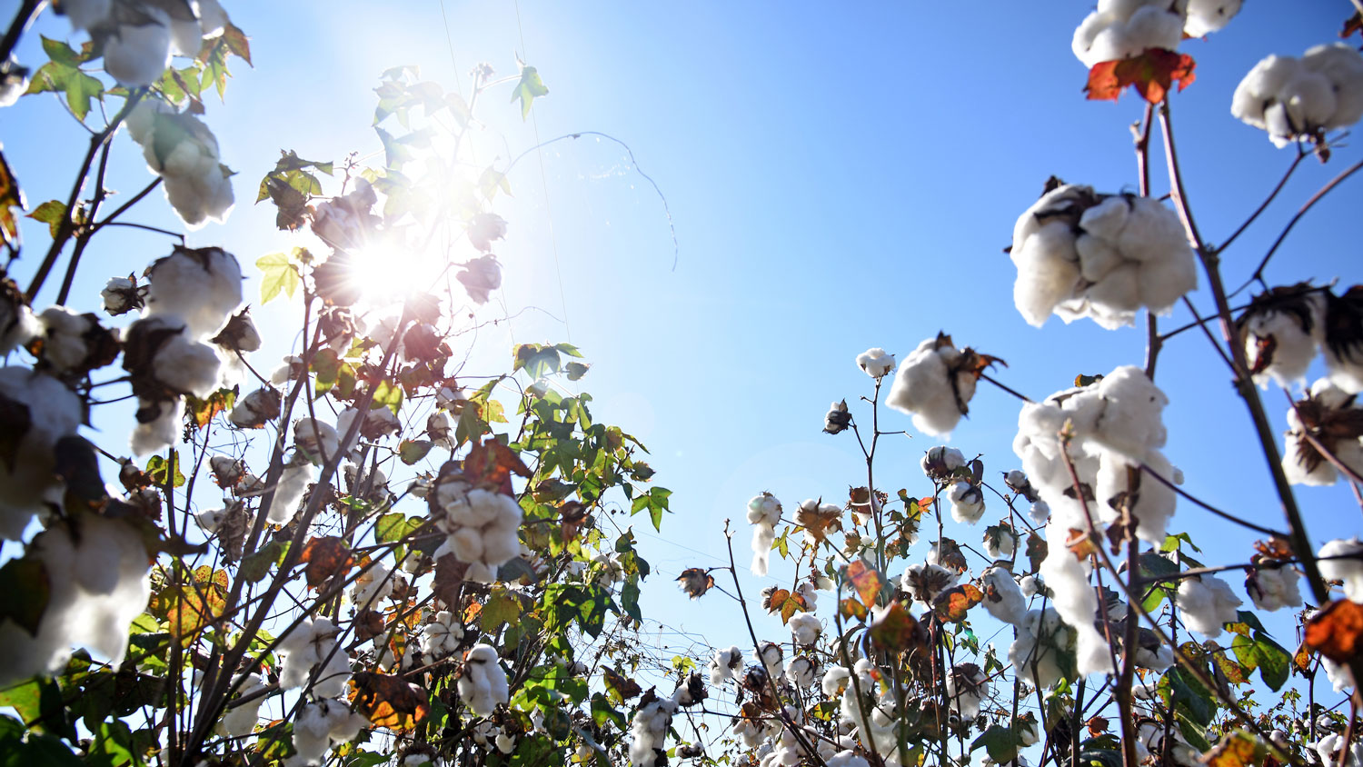 Cotton field with the sun shining