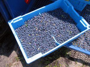 bin of machine-picked blueberries