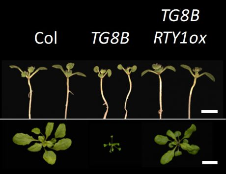 When a plant with an unknown mutation was crossbred with a plant with a known mutation in an enzyme involved in making a plant growth hormone, the offspring looked normal, suggesting the new mutant complemented the known mutant. (Labeled seedlings on black)
