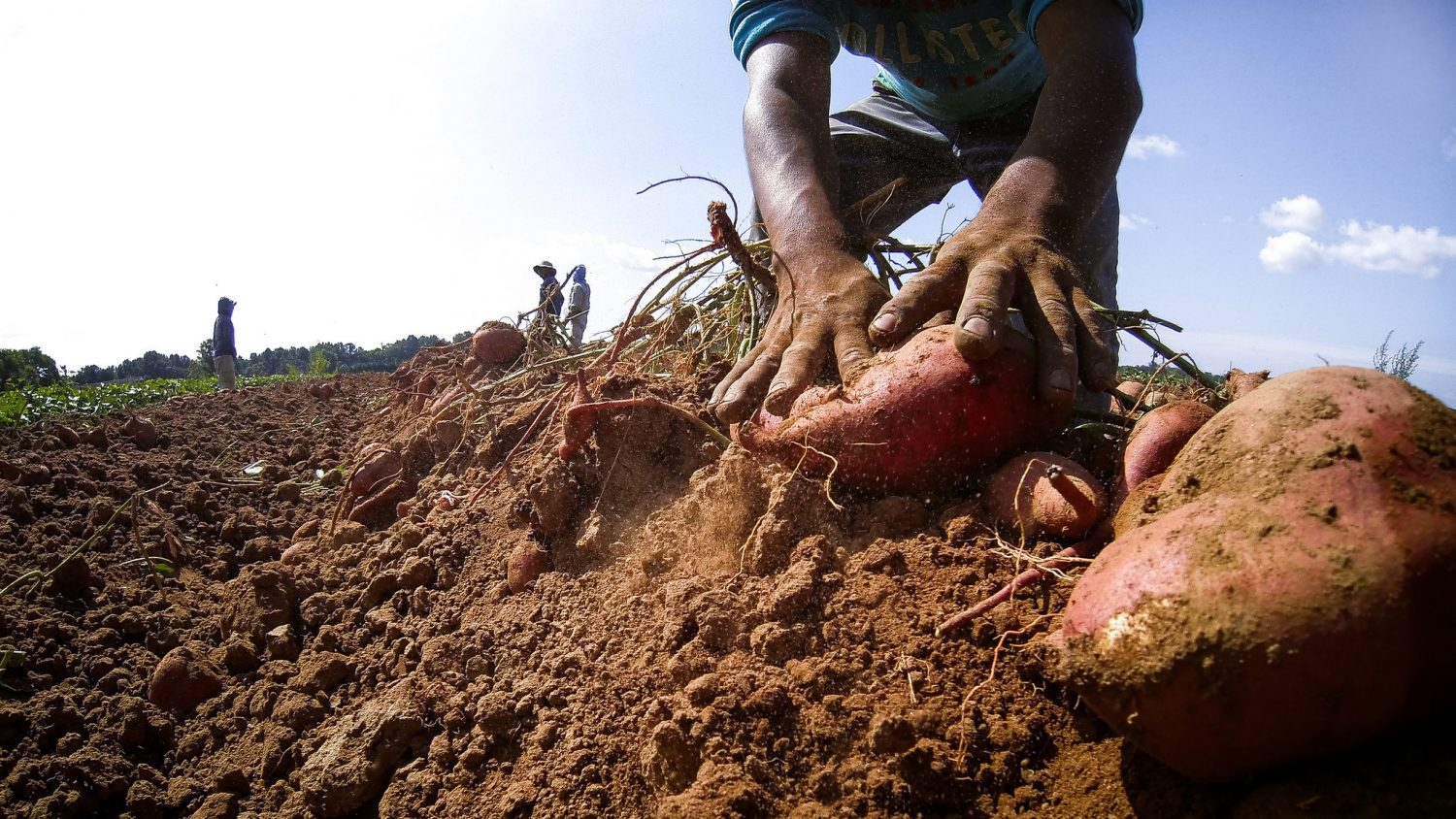 Hands digging sweet potatoes from the ground, with other workers standing on the horizon
