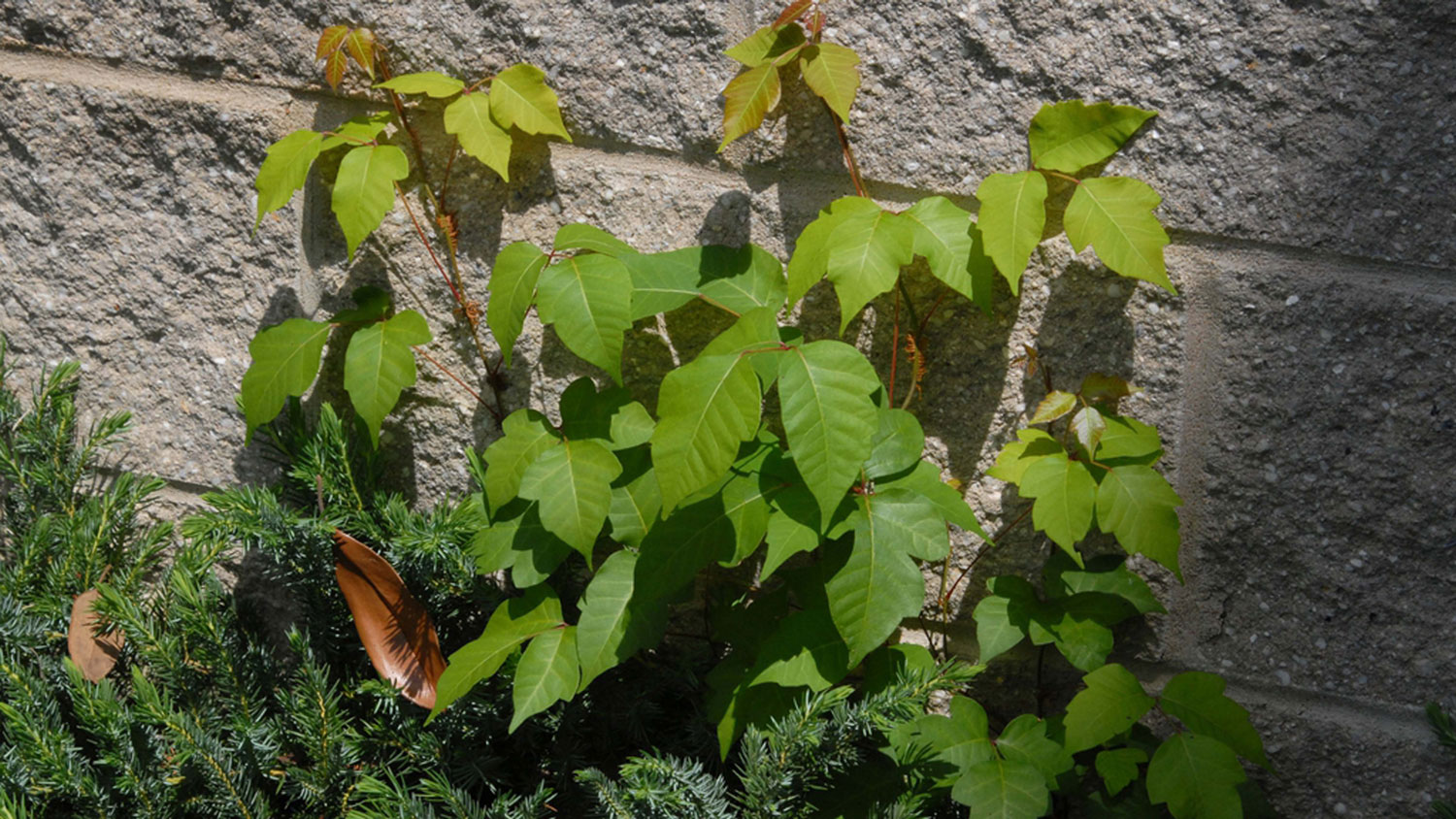 Poison ivy growing up a brick wall