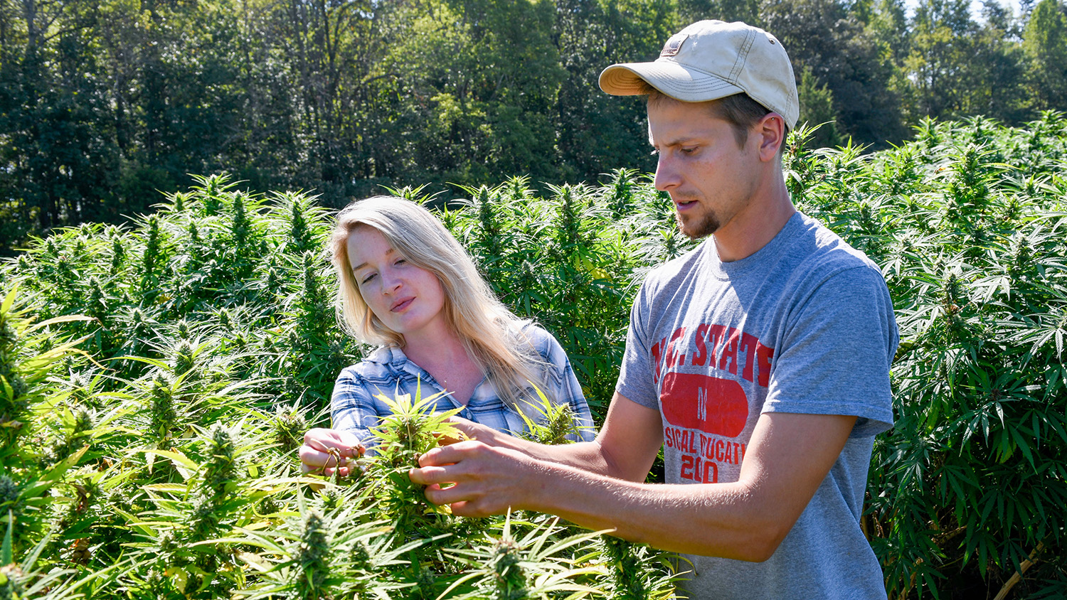 Woman and man examine plants in a hemp field