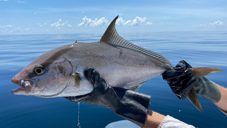 A silvery fish against a calm, blue ocean.
